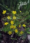 POTENTILLA argentea   Portion(en)