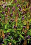 PRUNELLA vulgaris  'BLBP 01' Portion(en)