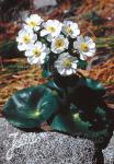 RANUNCULUS lyallii   Portion(s)