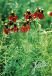 RATIBIDA columnifera f. pulcherrima   Portion(s)