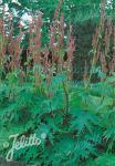 RHEUM palmatum var. tanguticum   Portion(s)