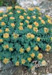 RHODIOLA rosea   Portion(en)