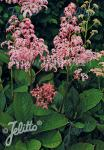 RODGERSIA Henrici-Hybr.   Portion(s)