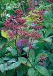 RODGERSIA (aesculifolia x henrici x pinnata)  New Hybrids Portion(s)