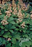 RODGERSIA pinnata   Portion(en)