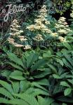 RODGERSIA sambucifolia   Portion(en)