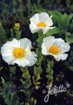 ROMNEYA coulteri   Portion(en)