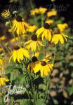 RUDBECKIA grandiflora  'Sundance' Portion(s)