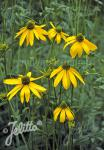 RUDBECKIA laciniata   Portion(en)