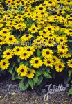RUDBECKIA hirta  'Toto Gold' Portion(en)