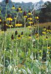 RUDBECKIA maxima   Portion(en)