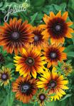 RUDBECKIA hirta  'Autumn Colors' Portion(en)