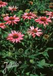ECHINACEA purpurea  'Rubinstern' Portion(en)