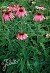 ECHINACEA purpurea  'Verbesserte Leuchtstern' Portion(en)