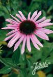 ECHINACEA purpurea  'Primadonna Tiefrosa' Portion(en)