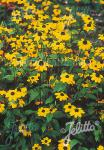 RUDBECKIA triloba   Portion(s)