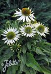 ECHINACEA purpurea  'PowWow® White' Portion(en)