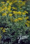 RUTA graveolens f. variegata   Portion(en)