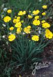 RANUNCULUS gramineus   Seeds