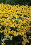 RUDBECKIA fulgida var. sullivantii  'Goldsturm' Seeds