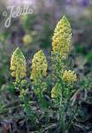 RESEDA lutea   Portion(en)