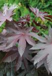 RICINUS communis  'New Zealand Purple'