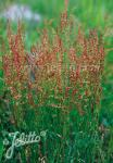 RUMEX acetosella   Portion(en)