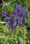 SALVIA farinacea  'Victoria Blue' Portion(s)