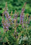SALVIA amplexicaulis   Portion(en)