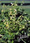 SALVIA glutinosa   Portion(s)
