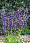 SALVIA pratensis Ballett Serie 'Twilight Serenade'