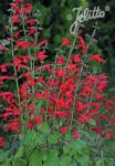 SALVIA roemeriana  'Arriba'(TM) Portion(s)