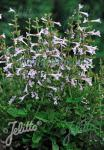 SALVIA scabra  'Good Hope'