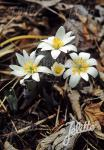 SANGUINARIA canadensis   Portion(en)
