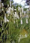 SANGUISORBA tenuifolia var. tenuifolia f. alba   Portion(s)