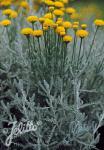 SANTOLINA chamaecyparissus ssp. tomentosa   Portion(s)
