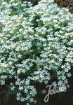 SAPONARIA ocymoides  'Snow Tip' Portion(en)