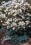 SAXIFRAGA paniculata ssp. brevifolia   Portion(en)