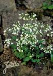 SAXIFRAGA cochlearis   Portion(en)