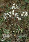 SAXIFRAGA granulata   Portion(s)
