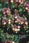 SCUTELLARIA alpina   Portion(en)