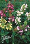 SCUTELLARIA alpina  'Arcobaleno' Portion(en)