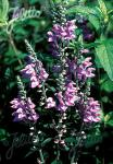 SCUTELLARIA incana   Portion(en)