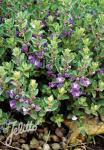 SCUTELLARIA resinosa  'Smokey Hills'