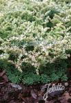 SEDUM glaucophyllum   Portion(s)