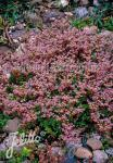 SEDUM stoloniferum   Portion(en)