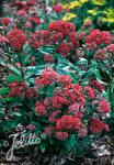 SEDUM telephium  'Emperor's Waves' Portion(en)