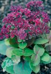 SEDUM ussuriense   Portion(s)