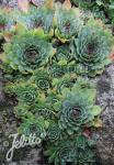 SEMPERVIVUM tectorum   Portion(en)