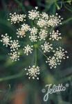 SESELI elatum ssp. osseum   Portion(s)